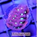 Favia Red&Green Warcoral